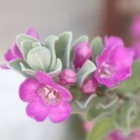 レウコフィルムの花言葉|特徴や種類、植栽にするのが良い?の画像