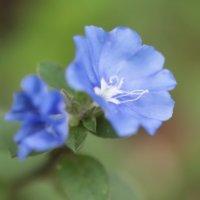 アメリカンブルーの花言葉|花の特徴やガーデニングで楽しむコツは?の画像