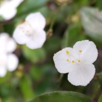 ブライダルベールの花言葉|種類や花の特徴、風水効果は?の画像