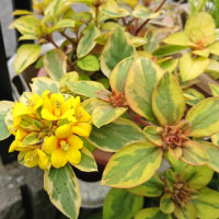 リシマキアの花言葉|種類や花の特徴、グランドカバーにおすすめ?の画像