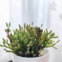 リプサリスの花言葉|種類や特徴、風水効果もあるの?の画像