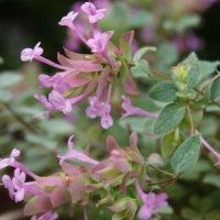 オレガノの花言葉|ハーブとしての効能や種類などもご紹介の画像