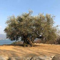 オリーブの花言葉|実の栄養や効能、種類や花の季節は?の画像