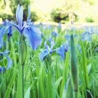 カキツバタ(杜若、燕子花)の花言葉|種類や花の季節、文化からの由来は?の画像