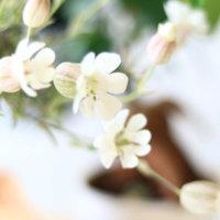 シレネの花言葉|種類や由来、花の特徴は?の画像