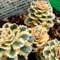 こんなの見たことない!マニアのこだわり珍奇植物たちが大集合の画像