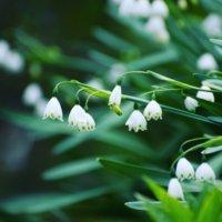 スノーフレーク(鈴蘭水仙)の花言葉|種類や由来、花の特徴は?の画像