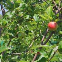 リンゴの花言葉|花や実の特徴、品種は?の画像