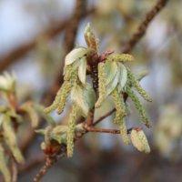 コナラの花言葉|木の特徴、どんぐりで増えるの?の画像