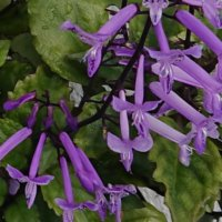 プレクトランサスの花言葉|種類や特徴、カラーリーフで人気?の画像