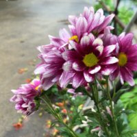 スプレーマム(スプレー菊)の花言葉|花の特徴や種類、おすすめのアレンジは?の画像