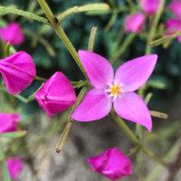 ボロニアの花言葉|種類や特徴、香りを楽しむの画像