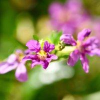 クフェアの花言葉|種類や花の特徴、生垣におすすめの画像