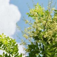 エンジュ(槐)の花言葉|由来や特徴、種類もある?の画像