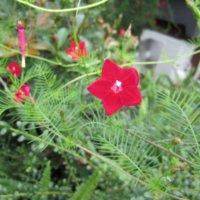 ルコウソウの花言葉|種類や特徴、グリーンカーテンが作れる?の画像