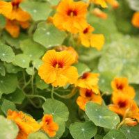 キンレンカ(ナスタチウム)の花言葉|由来や花の特徴、種類はどれくらい?の画像