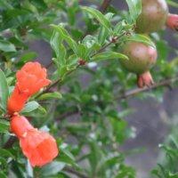 ザクロの花言葉|種類や由来、花や実の特徴は?の画像