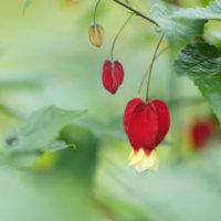 アブチロンの花言葉 種類や由来、花の特徴は?の画像