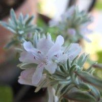 ウエストリンギアの花言葉|花の特徴や種類、ローズマリーとの関係は?の画像