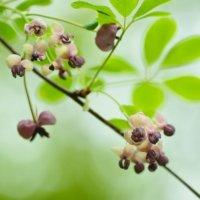 アケビの花言葉|由来や種類、花の特徴は?の画像