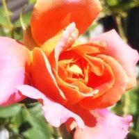 バラ愛好家のみなさまへ!台風対策をして秋バラを上手に咲かせようの画像