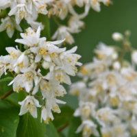 ヒメウツギの花言葉|花の特徴や由来、種類はある?の画像