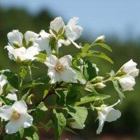 バイカウツギの花言葉|花の特徴や種類、ガーデニングでも楽しめる?の画像