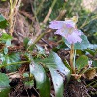 イワウチワの花言葉|花の特徴や由来、種類はあるの?の画像