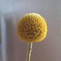 クラスペディアの花言葉|花の特徴や由来、ドライフラワーの作り方は?の画像