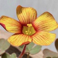 オキザリスの育て方|球根の形によって植え方が違う?花が終わったらどうする?の画像