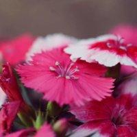 セキチク(石竹)の花言葉|花の特徴や種類、怖い意味の由来とは?の画像