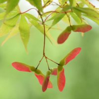 ヤマモミジの花言葉|意味や特徴、盆栽でも楽しめる!の画像
