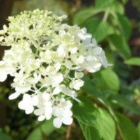 ノリウツギの花言葉|花の特徴や種類、色が変わっていく?の画像