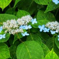ヤマアジサイの花言葉|花の特徴や由来、種類はある?の画像