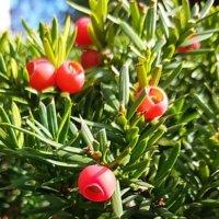イチイの花言葉|花や実の特徴、盆栽でもおすすめ?の画像