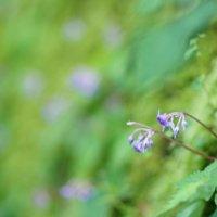 イワタバコの花言葉|花の特徴や種類、名前の由来は?の画像
