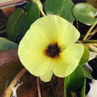 ウォーターポピーの花言葉|花の特徴や由来、水草としておすすめ?の画像