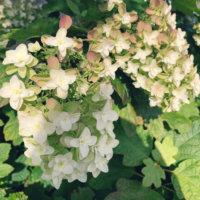 カシワバアジサイの花言葉|種類や由来、花の特徴は?の画像