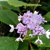 ガクアジサイの花言葉|花の特徴や由来、種類はどのくらい?の画像