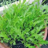 水菜の花言葉|種類や由来、花も咲かせるの?の画像
