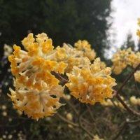 ミツマタの花言葉|花の特徴や種類は?紙の原料って本当?の画像