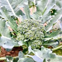 ブロッコリーの花言葉|花の特徴や種類、どんな栄養がある?の画像
