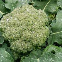 ブロッコリーの種類|ロマネスコ、カリフラワーはどんな野菜?の画像