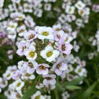スイートアリッサムの花言葉|花の特徴や種類、人気の品種は?の画像