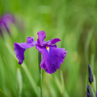 ハナショウブ(花菖蒲)の花言葉|由来や花の特徴、見頃の季節は?の画像