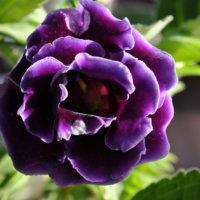 グロキシニアの花言葉|種類や由来、花の特徴は?の画像