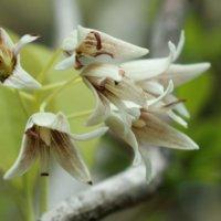 ムベの花言葉|花の特徴や由来、アケビとの違いは?の画像