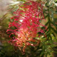 グレビレアの花言葉|意味や種類、花の特徴は?の画像