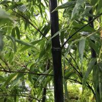 黒竹(クロチク)の花言葉|種類や由来、花は咲くの?の画像