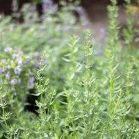 ヒソップの花言葉|花の特徴や種類、どんな香りがする?の画像